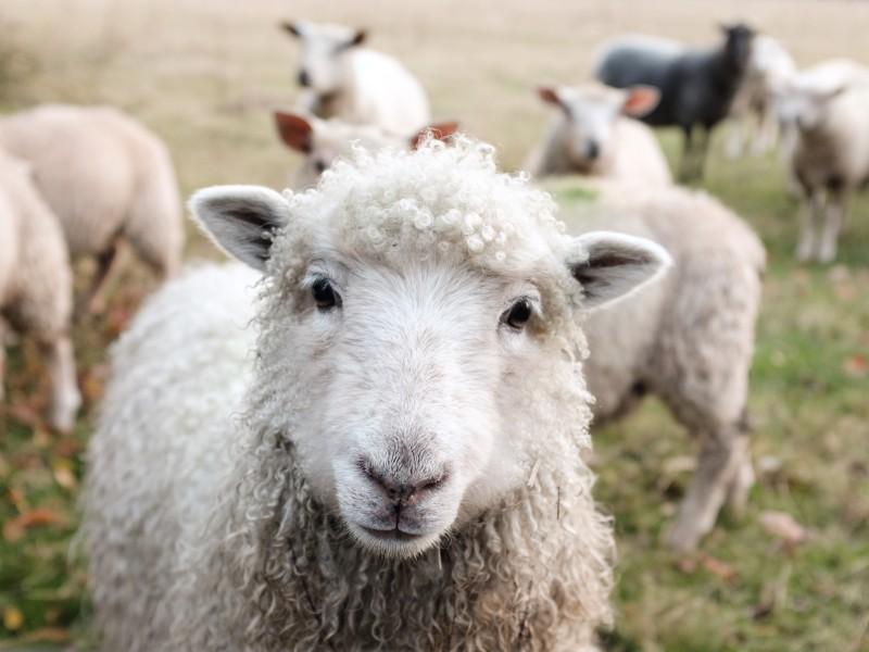 Pranie owiec
